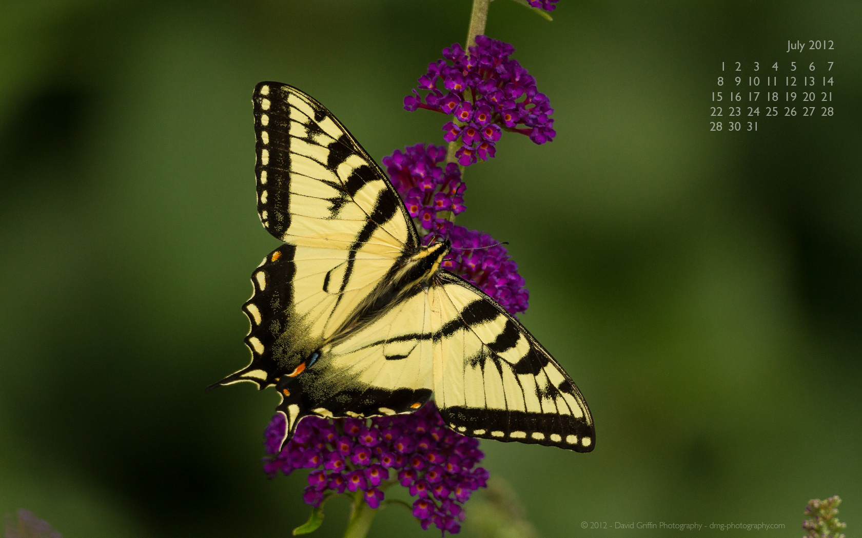 A Tiger Swallowtail Butterfly Feeds on a Thistle Flower Photographic